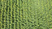 agronomia : top view of the flowers of sunflower. A field of sunflowers. Field of sunflowers. Aerial view of agricultural fields flowering oilseed. Top view. Stock Footage