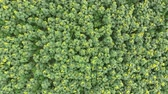 top view of the flowers of sunflower. A field of sunflowers. Field of sunflowers. Aerial view of agricultural fields flowering oilseed. Top view. Stock Footage