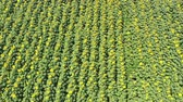 Field of sunflowers. Aerial view of agricultural fields flowering oilseed. Top view. Stock Footage