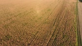 borlas : A field of ripe corn. Dry corn stalks. View from above.
