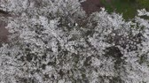 field : Top view of a blossoming plum tree. Stock Footage