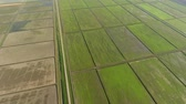 výhonky : The rice fields are flooded with water. Flooded rice paddies. Agronomic methods of growing rice in the fields.