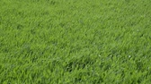 agronomia : Young wheat swaying in the wind. Spring winter wheat field. Shoots of wheat in a field on the ground. Cultivation of cereals.