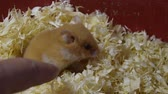 patas : Hamster home in keeping in captivity. Hamster in sawdust. Red hamster.
