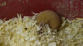 chomik : Hamster home in keeping in captivity. Hamster in sawdust. Red hamster.