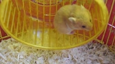 humorous : Hamster home in keeping in captivity. Hamster running wheel. Red hamster. Stock Footage