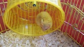 chomik : Hamster home in keeping in captivity. Hamster running wheel. Red hamster. Wideo