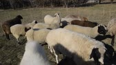 ruminante : Sheep go pasture in the pasture and graze. Flock of sheep Vídeos