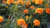 blooming : Orange Flowers Swaying in the Wind. Close-up. Stock Footage