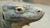 dont know : Close-up of the head of a Komodo Dragon. (VARANUS KOMODOENSIS). moves his head and looks at you.