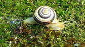 comestível : White-lipped snail or garden banded snail (Cepaea hortensis). A snail slowly moving to the right on the moss.