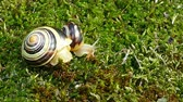white lipped : White-lipped snail or garden banded snail (Cepaea hortensis). The little snail moving fast on the moss and big snail does not move. Time Lapse