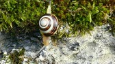white lipped : White-lipped snail or garden banded snail (Cepaea hortensis). A snail moving slowly downward, defying the force of gravity with its shell. Stock Footage