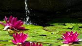 шуй : Three water lilies in the pond with a stream of water falling background.Slow Motion