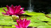 шуй : Two water lilies in the pond with a stream of water falling background.4K resolution