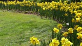 malmequer : Many yellow daffodils moved by the breeze, with a different small, white.