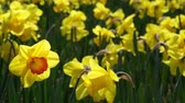 malmequer : Many yellow daffodils moved by the breeze, with a different, red. Stock Footage