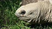 tartaruga : Aldabra Giant Tortoise (Aldabrachelys gigantea). Close-up of the head of a giant tortoise relaxed while looking and blinking, on a grassy background.