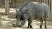 strach : WARTHOG (PHACOCHOERUS AFRICANUS). Close-up of a warthog while eating quietly and watching you. Wideo