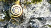 csiga : White-lipped snail or garden banded snail (Cepaea hortensis). The snail moving slowly downward, defying the force of gravity with its shell. Stock mozgókép