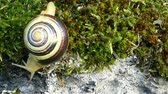 white lipped : White-lipped snail or garden banded snail (Cepaea hortensis). The snail moving slowly downward, defying the force of gravity with its shell. Stock Footage
