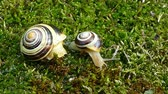 caracol : White-lipped snail or garden banded snail (Cepaea hortensis). The little snail moving on the moss and big snail does not move.