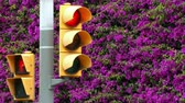 kontrast : Sustainable city. Close-up of traffic light, with all changes of light, on a background of a full wall of magenta flowers.