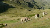 благодарность : Cows grazing peacefully and in freedom, in a beautiful mountain landscape to sunny summer day.