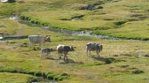 hovězí : Cows walking peacefully and in freedom, in a beautiful landscape of a plain with a brook, a sunny summer day. Dostupné videozáznamy