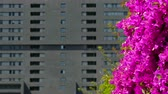 фуксия : Sustainable city. Close-up of magenta color flowers, moved by the wind, on a gray and unfocused background building. Стоковые видеозаписи