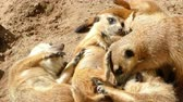 afetuoso : Colony of meerkats resting and sunbathing, some are scratching with their paws and nibbling.
