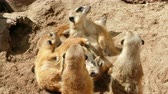 korku : Colony of meerkats resting and sunbathing some watch. Stok Video