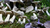 fungos : Assortment of edible and toxic mushrooms. Camera movement panning right.