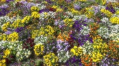 malmequer : Many flowers: colorful pansies with moved by breeze.Artistic blur.Motion camera: PAN. Top view Stock Footage