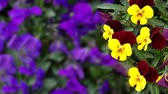 bucolique : Many flowers: colorful pansies with moved by breeze.Artistic blur.Fixed plane. close up