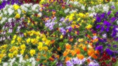 bucolique : Many flowers: colorful pansies with moved by breeze.Artistic blur.Motion camera: TILT
