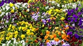 malmequer : Many flowers: colorful pansies with moved by breeze.Motion camera: TILT