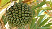 vida : Close-up of the fruit of the tropical tree, Common screw pine (Pandanus utilis) which is pineapple shaped and edible.Pan right