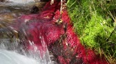 akım : Detail of mountain river with red plants (Eleocharis sp Red) and strong current of water, conveying feelings of harmony and energy. Sound. Stok Video