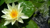 Water lily in the pond with a jet of water falling in the background and moved softly in the breeze.Slow Motion.