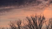 живая природа : crows, raven, black birds, sunset, background red clouds