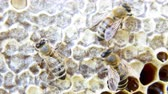včelí vosk : Busy bees, close up view of the working bees on honeycomb. Close up of some animals and honeycomb structure.