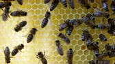 Busy bees, close up view of the working bees on honeycomb. Close up of honey and honeycomb structure. Dostupné videozáznamy