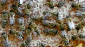 ハイブ : Busy bees, close up view of the working bees on honeycomb. Close up of honey and honeycomb structure. 動画素材