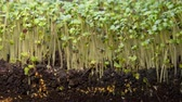A seedling growing from the dirt time lapse video. Microgreens healthy food with vitamins. Stock Footage