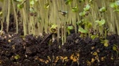 alcançando : A seedling growing from the dirt time lapse video. Microgreens healthy food with vitamins. Vídeos