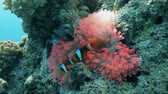 анемон : pink anemone with clown on top