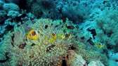 oceânico : anemone city covered by clown and damsel fish