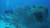 mergulhador : divers through shoal of bait fish cover the coral block