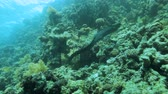 rest : free swimming moray eel with divers in the background Stock Footage